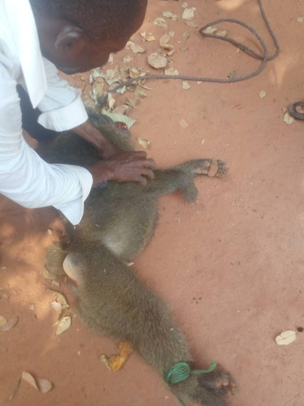 Baboon escapes from its cage in Anambra and inflicts injury on a 13-year-old girl (photos)
