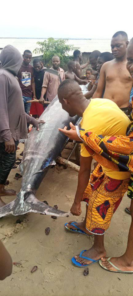 Photos: Jubilation as fisherman catches giant swordfish in Rivers community