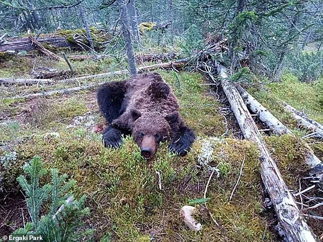 Bear kills and eats 16-year-old boy after attacking tourist group in Russian national park (photos)