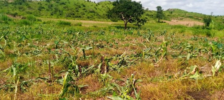 Governor Lalong appalled by willful destruction of farm crops in Plateau; orders arrest of perpetrators (photos)