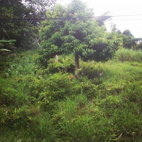 Overgrown Yard, Jamaica