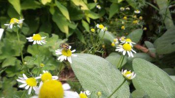Bees on Flowers - New York Botanical Garden