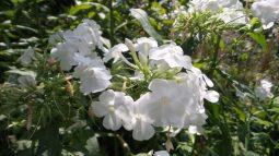 White Flowers - New York Botanical Garden