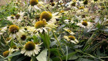 Sunflowers in New York - NY Botanical Gardens