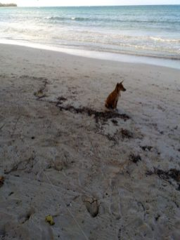 stray dog at good hope beach in Jamaica