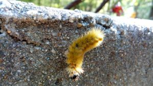 Fuzzy Yellow Bug