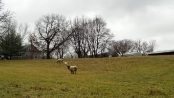 Sheep on the Way to Sunderbruch Park in Iowa