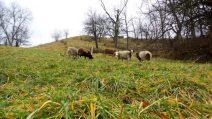 sheep farm nature countryside travel