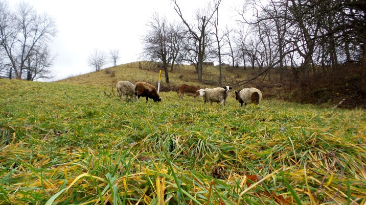 sheep farm nature countryside travel