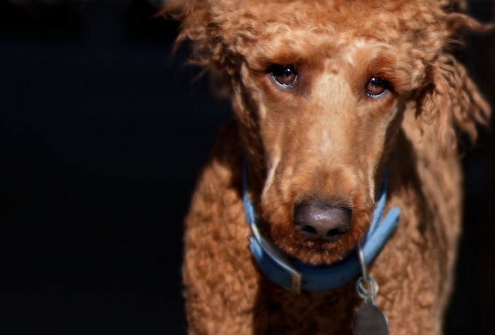 poodle dog animal rights