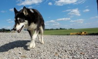 kentucky bourbon distillery dog husky wolf