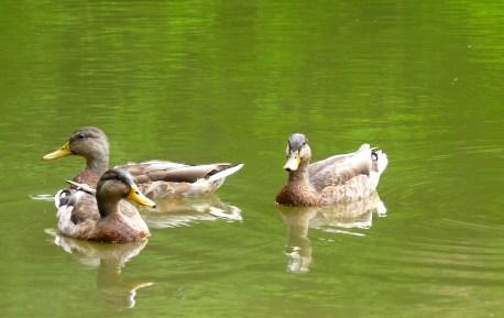 ducks nature hiking pond