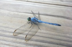 Constitution Lakes Blue Dragon Fly 2