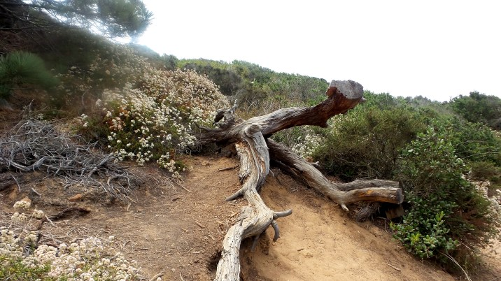 26 Gnarled Tree Torrey Pines