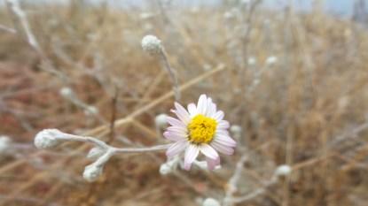 38 Torrey Pines Flower