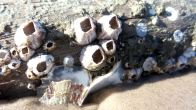 11 Blackrock Beach Sea Shells