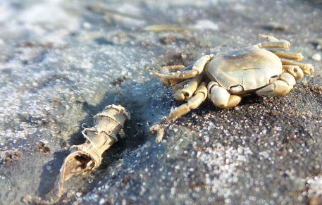 12 Blackrock Beach Crab