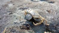 14 Blackrock Beach Crab Stinger
