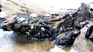 14 Blackrock Beach White Driftwood Trees and Shells