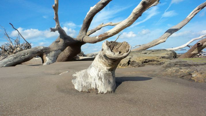 7 Blackrock Beach White Driftwood Trees