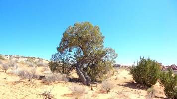 25 Tree at Arches National Park Hike to Tower Arch