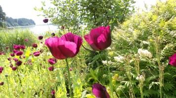 08 Jensen Olson Arboretum Alaska Flowers