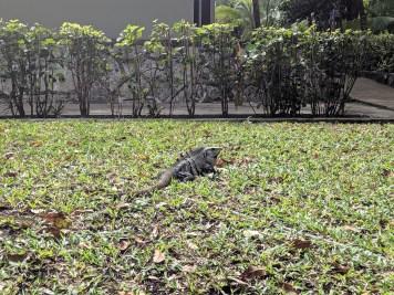 Iguana Mexico2