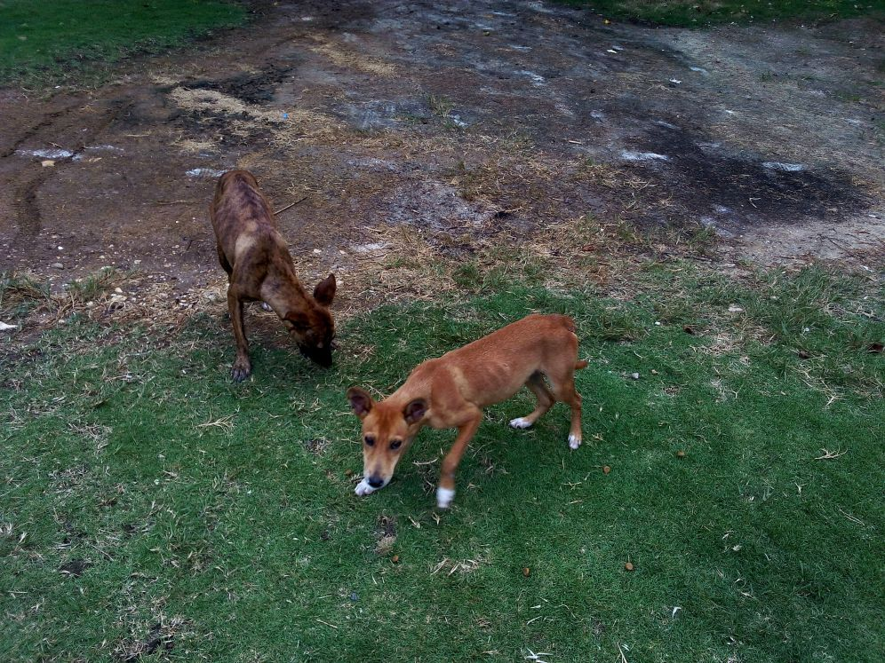 stray dogs animal volunteer rights travel jamaica
