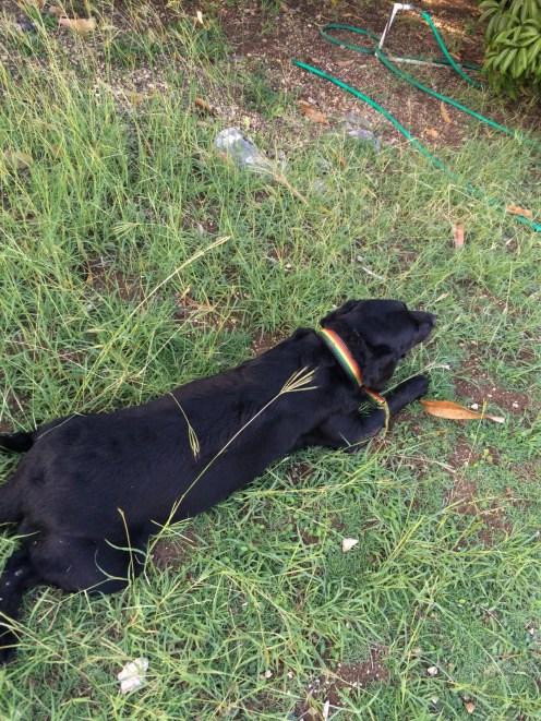 black labrador retriever jamaica