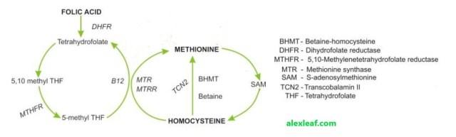 Гомоцистеин - метионин
