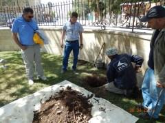 Устройство дренажных шурфов для полива корней библейской смоковницы. Апрель 2014 года