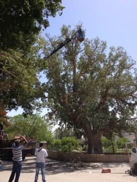Работы по обрезке библейской смоковницы– дерева Закхея. Апрель 2016 года