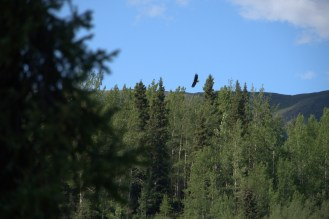 A bald eagle soaring of Long Lake on the way to pick up Gabby.