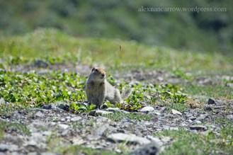arcric-ground-squirrel-1