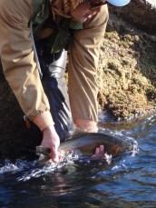 12/8/13: Burton releases a stout rainbow. Putah Creek, CA