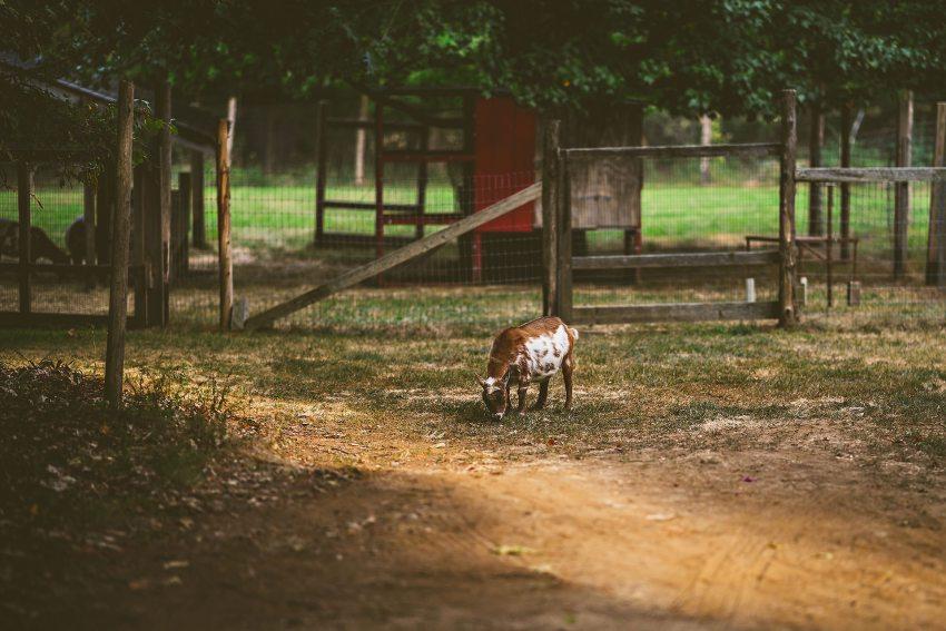 maine wedding farm goat