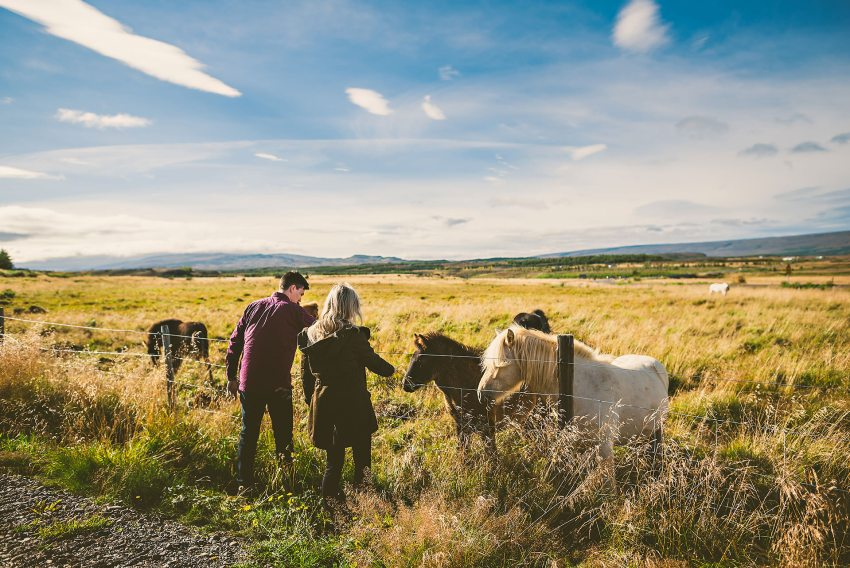 engaged couple visiting Icelandic ponies