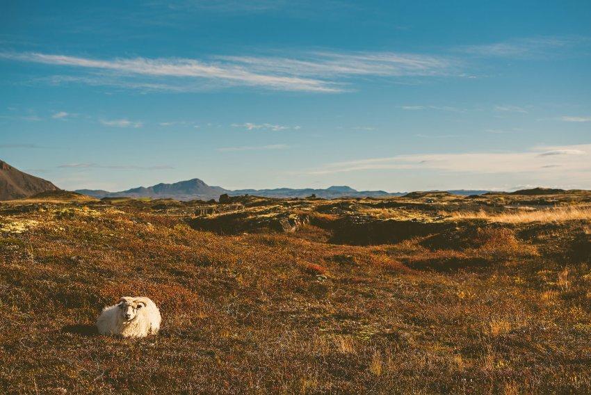 Icelandic sheep near Mývatn
