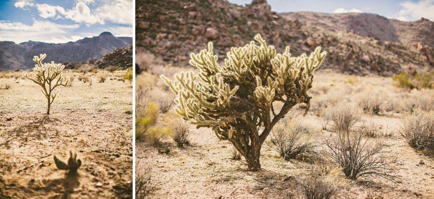 Cacti in Kingman