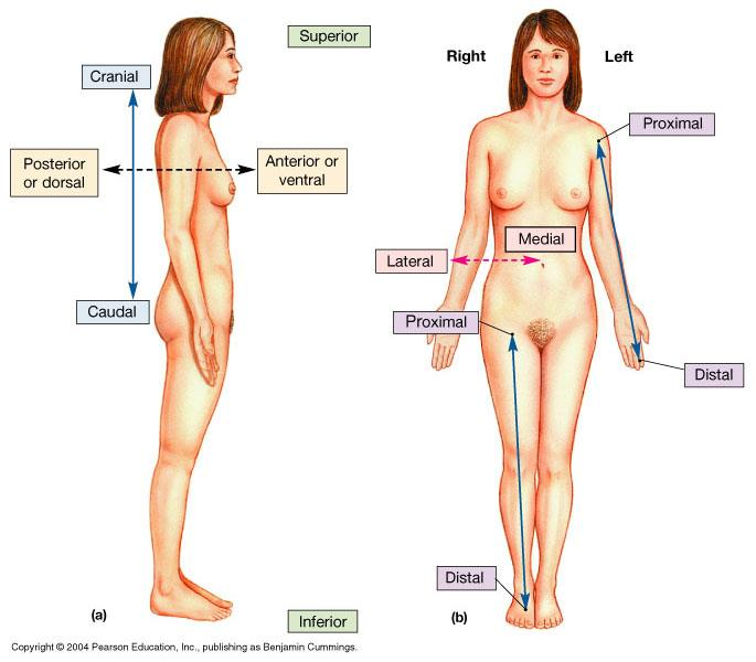 Fancy Anatomy Position Terms Mold - Anatomy And Physiology Biology ...