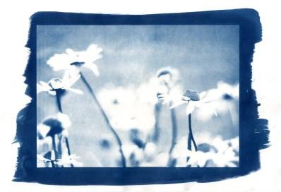 alex-woodhouse-photo-cornwall-cyanotype-landscape-daisy (1)