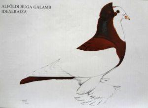 Alföldi buga galamb ideálrajza