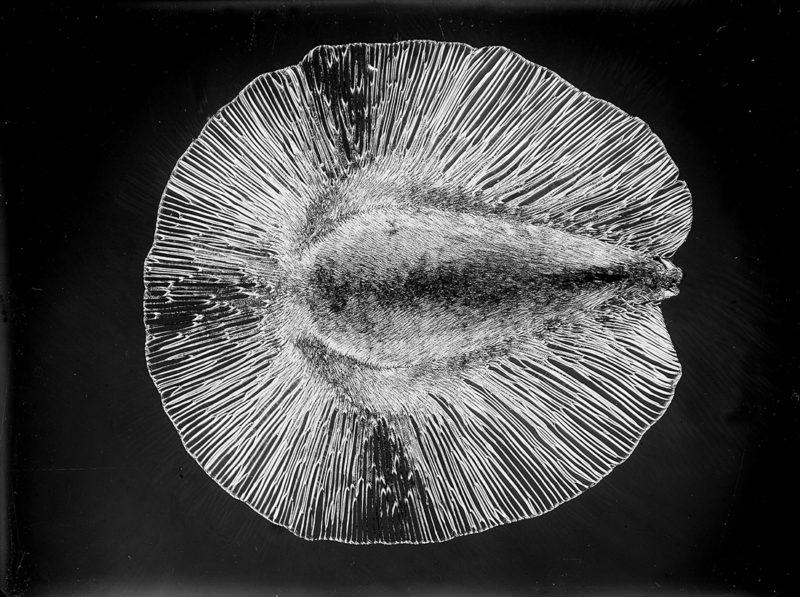 Micrographie (graine) Paris vers 1925 - Laure Albin Guillot