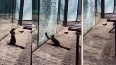Photo of [VIDEO] Mono capuchino usa una roca para romper el cristal de su jaula