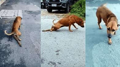 Photo of VIDEO: Perro finge tener una pata rota para conseguir comida y llamar la atención
