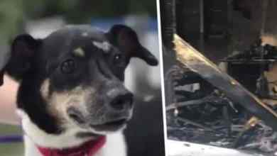 Photo of Perrito salvó la vida de una familia, pero eso le costó la suya