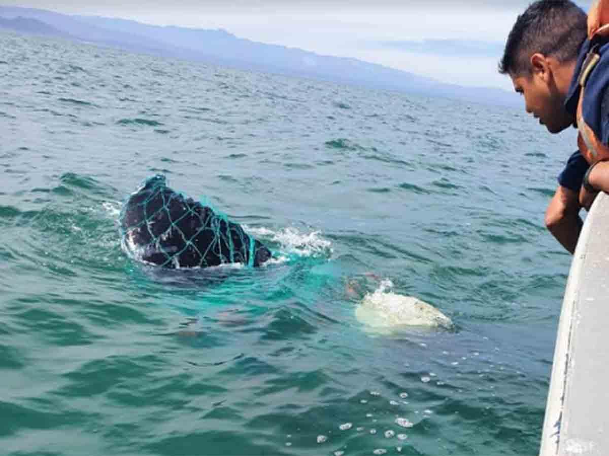 Encuentran ballena enredada en arte de pesca en San Felipe