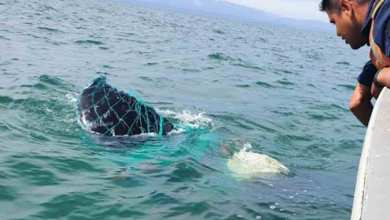 Photo of Encuentran ballena enredada en arte de pesca en San Felipe