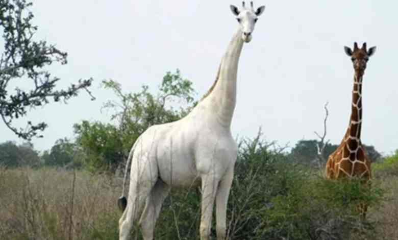 Cazadores matan a la única jirafa blanca y a su cría