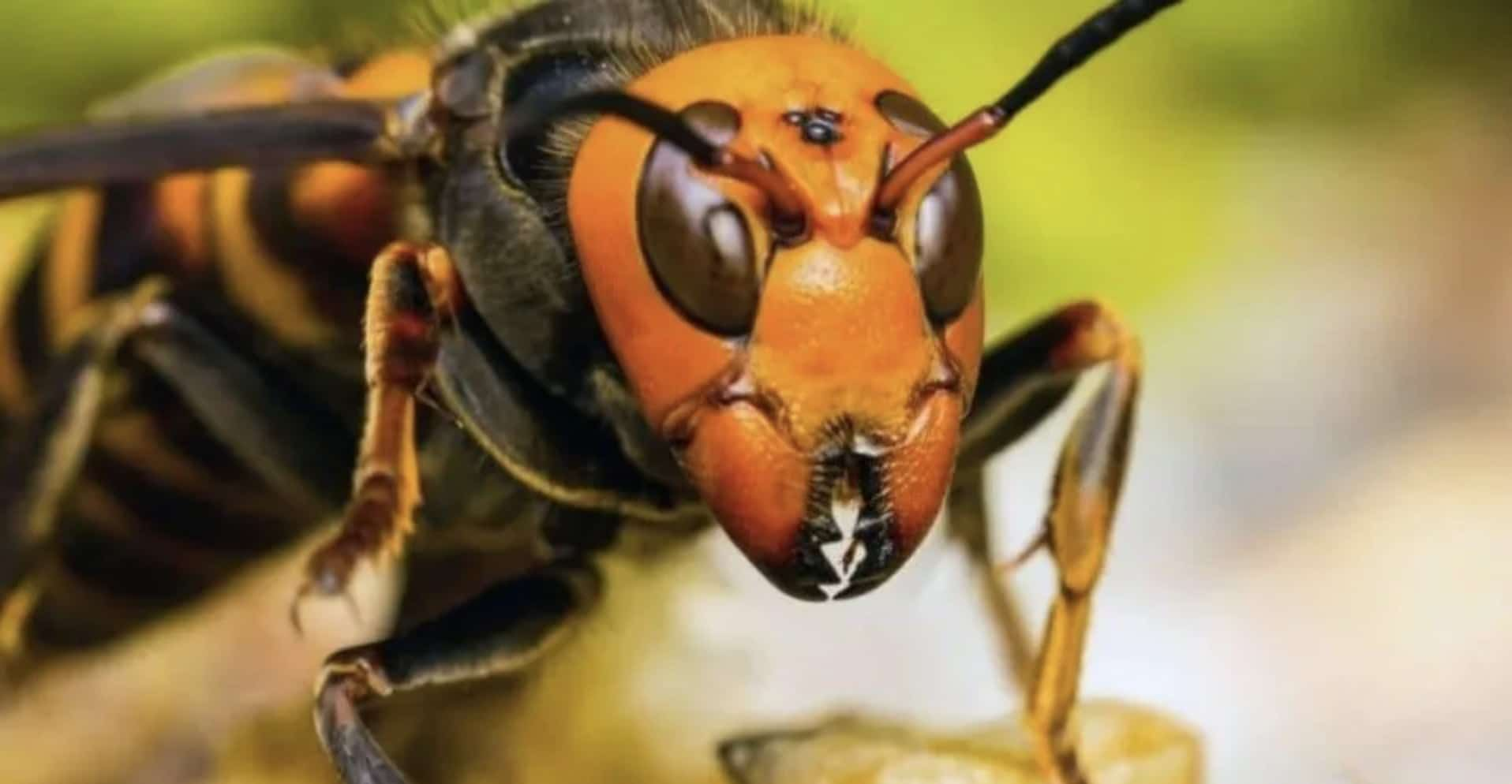 Activan vigilancia para prevenir entrada de avispón gigante